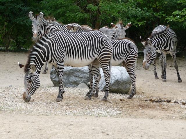 zèbres de grévy zoo mulhouse