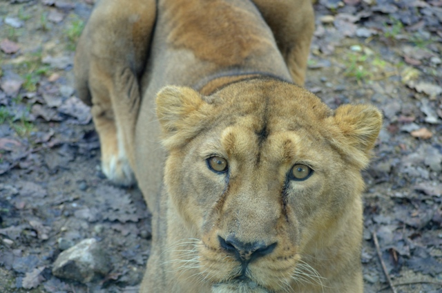 lionne zoo