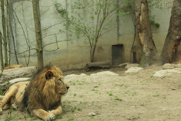 lion zoo mulhouse