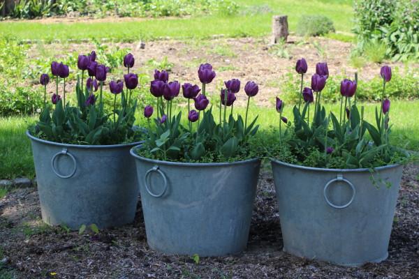 Au parc, les tulipes font de la résistance
