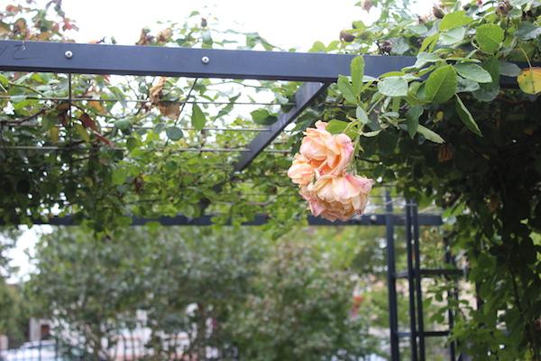 Jolie rose pour une jolie ambiance - © My-Mulhouse.fr