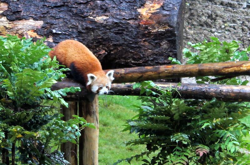 panda enclos asiatique zoo