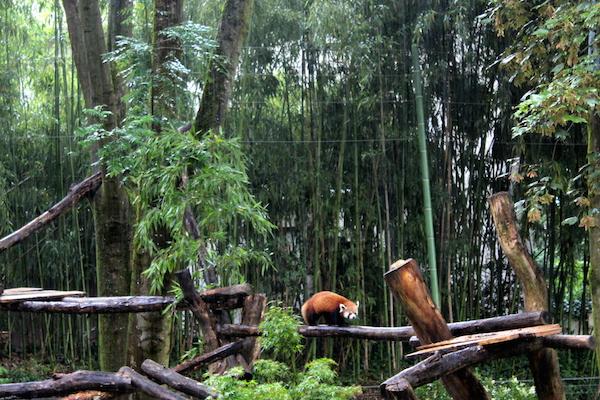 panda roux enclos asiatique zoo mulhouse 3