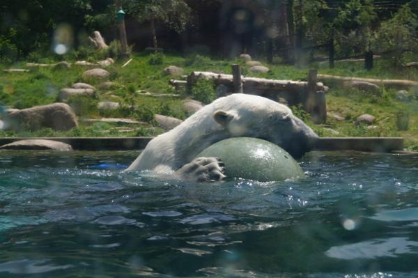 Un ours blanc en plein jeu - ©Aurore Keller pour MyMulhouse