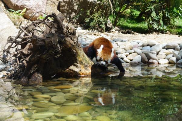J'vous ai dit que j'aimais les pandas roux ? - ©Aurore Keller pour MyMulhouse