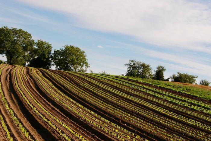 Des salades à perte de vue - © My-Mulhouse.fr