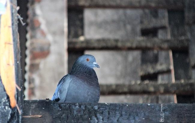 pigeon mulhouse